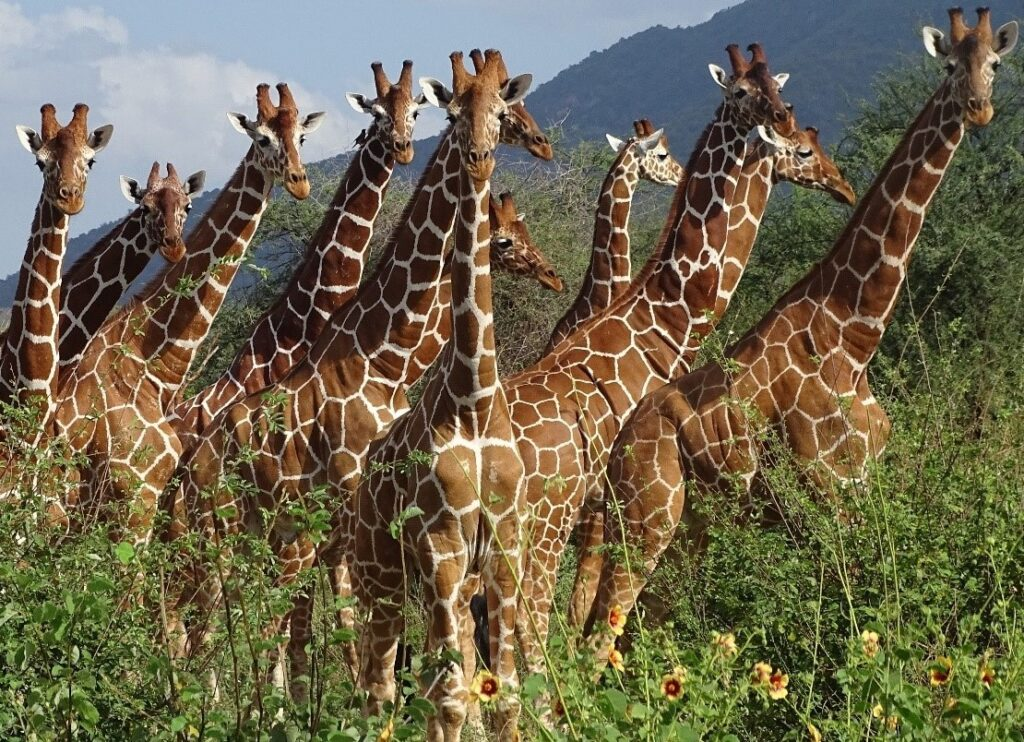 group of giraffes in the wild